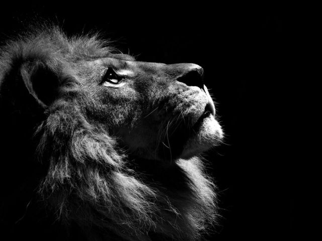 lion-profile