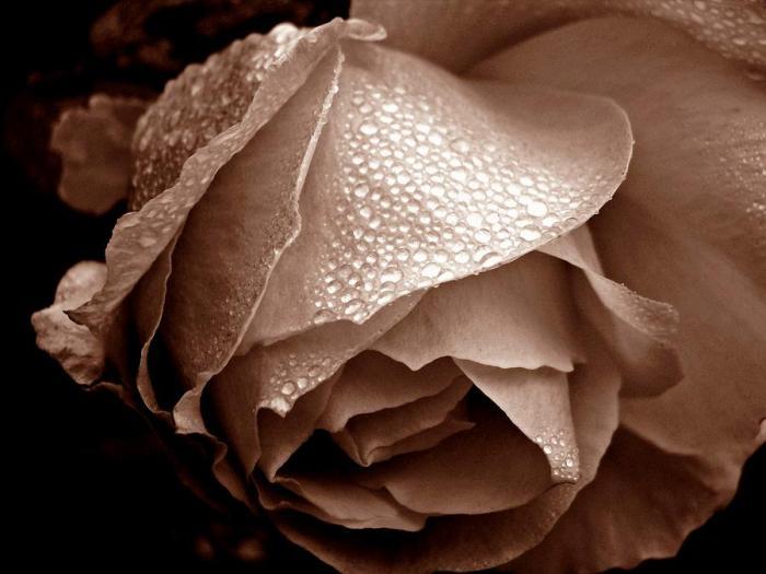 wet-rose-i