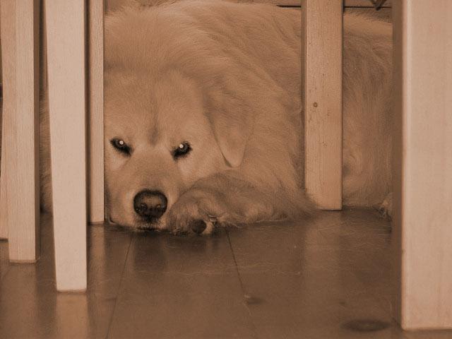 dog under table copy