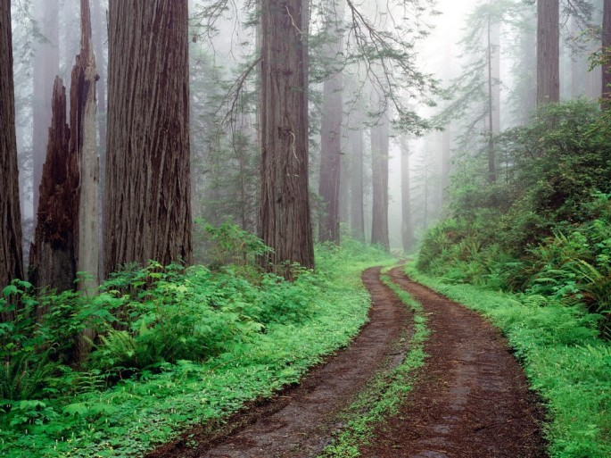 forest-road-redwood