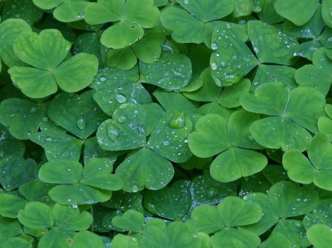 irish-clover