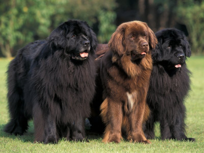 pictures-of-Newfoundlands