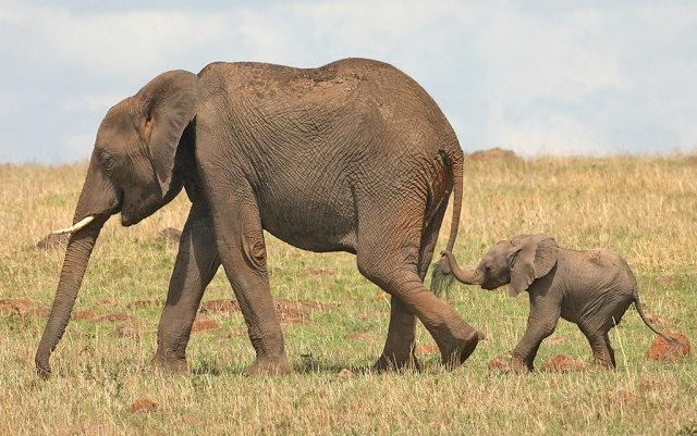 Baby Elephant holding adult tail