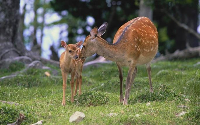 Deer-Desktop