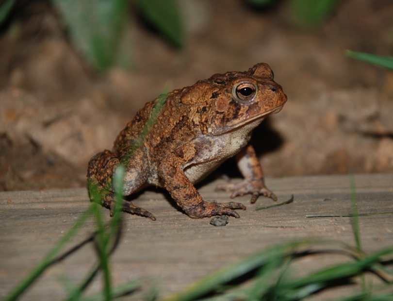 American_Toad_2