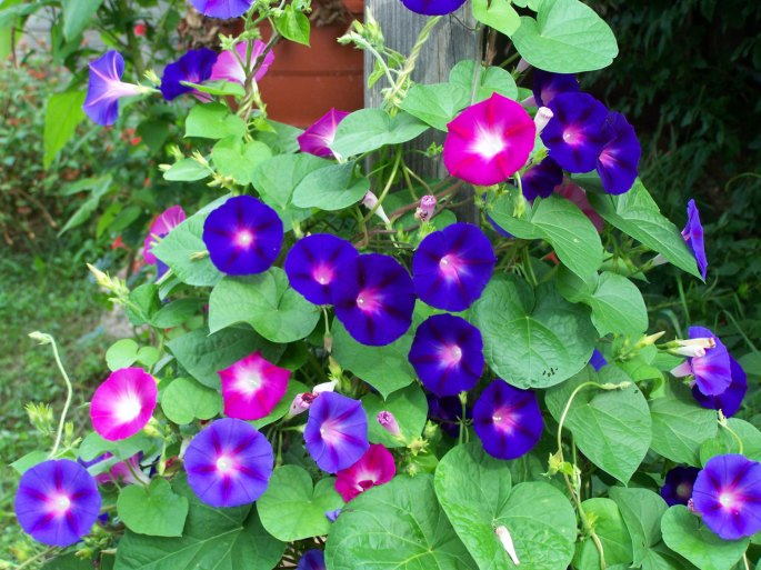 Morning-Glory-Flowers-in-Garden