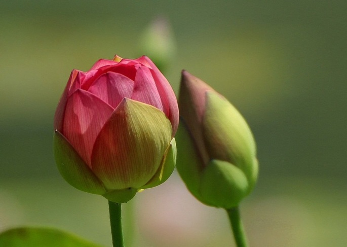 beginning-flower-bud-wallpapers-1024x768