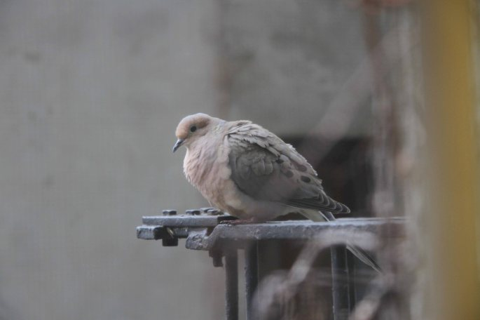 our-mourning-dove