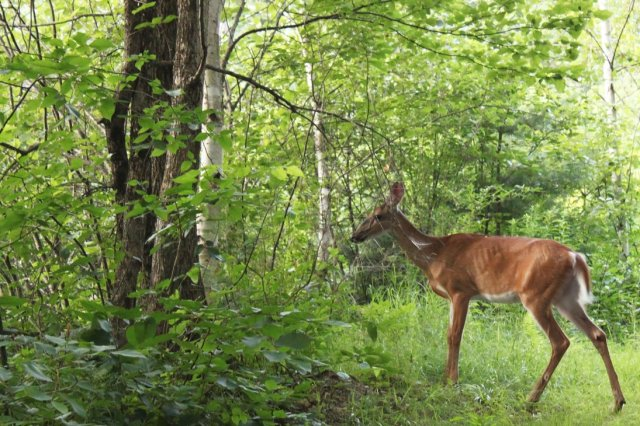 deer_in_forest_by_spartanb66-d416p90.png