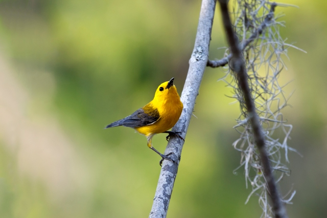 """There are a number of Passeriformes (perching birds) called """"warblers"""". They are not particularly closely related, but share some characteristics, such as being fairly small, vocal and insectivorous. The two families of American """"warblers"""" are part of another superfamily, which unites them with sparrows, buntings, finches, etc."""