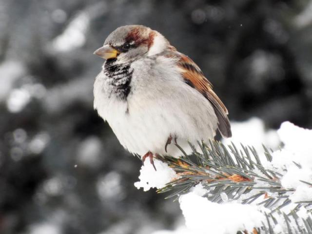 House_Sparrow_sm